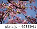 河津桜 メジロ カワヅザクラの写真 4936941