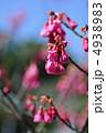カンヒザクラ 寒緋桜 さくらの写真 4938983