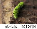 ナミアゲハ 幼虫 アゲハ蝶の写真 4939600