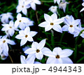花韮 イフェイオン スプリングスターフラワーの写真 4944343
