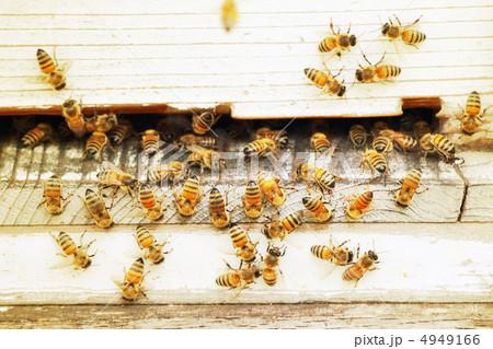 ミツバチ 4949166