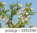 ブルーベリーの花 4950596