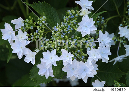 星型で八重咲きの額紫陽花・墨田の花火 4950639