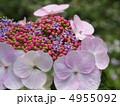 萼紫陽花 ハイドランジア 紫陽花の写真 4955092