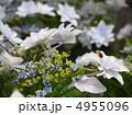 墨田の花火 スミダノハナビ 萼紫陽花の写真 4955096