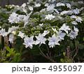 墨田の花火 スミダノハナビ 萼紫陽花の写真 4955097