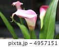 カラーの花3 4957151