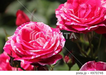濃いピンクと薄ピンクのマーブル模様の薔薇・アンリ マティス 4970746