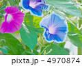 夏の花 朝顔 アサガオの写真 4970874