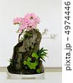 サツキ 盆栽 皐月の写真 4974446