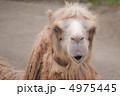 陸上動物 草食動物 フタコブラクダの写真 4975445