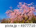 枝垂桜 ベニシダレ ベニシダレザクラの写真 4977710
