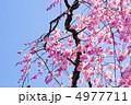 枝垂桜 ベニシダレ ベニシダレザクラの写真 4977711