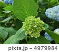 アジサイ あじさい 紫陽花の写真 4979984