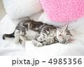 アメリカンショートヘア 子猫 猫の写真 4985356