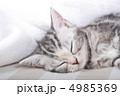 アメリカンショートヘア 子猫 猫の写真 4985369