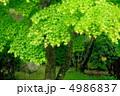 イロハカエデ カエデ モミジの写真 4986837