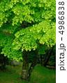 イロハカエデ カエデ モミジの写真 4986838