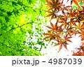 葉っぱ 紅葉 楓の写真 4987039