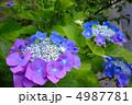 グラデーションのきれいな紫陽花 4987781