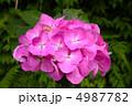 明月院の紫陽花 4987782