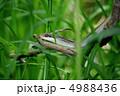 縞蛇 シマヘビ へびの写真 4988436