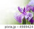 ハナショウブ 花ショウブ ショウブの写真 4989424