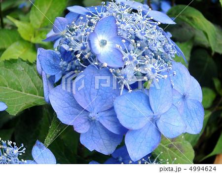 姫紫陽花(ヒメアジサイ):七変化 花言葉:移り気 Hydrangea serrata 4994624