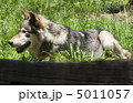 Resting wolf 5011057