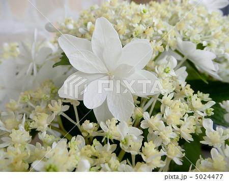 紫陽花(アジサイ) ウエディングドレス 花言葉:元気な女性 Hydrangea 5024477