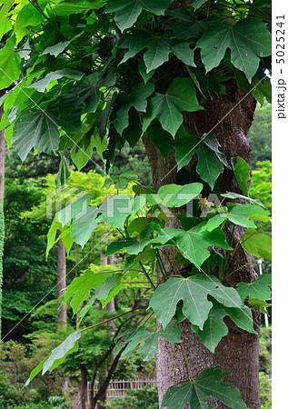 樹木・アオギリ アオギリ科 5025241