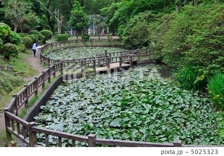 桐生散歩・吾妻公園 蓮池の写真...