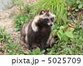 タヌキ ホンドタヌキ たぬきの写真 5025709