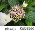 紫陽花 5034390