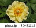 黄色い芍薬 5043818