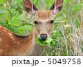 エゾシカ 蝦夷鹿 エゾジカの写真 5049758
