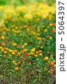 紅花 ベニバナ べにばなの写真 5064397