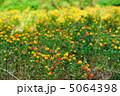 紅花 ベニバナ べにばなの写真 5064398