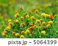 紅花 ベニバナ べにばなの写真 5064399