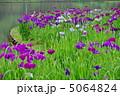 ハナショウブ ショウブ 花菖蒲の写真 5064824