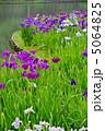 ハナショウブ ショウブ 花菖蒲の写真 5064825