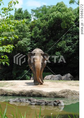 象(ゾウ)【天王寺動物園】「アジアの熱帯雨林ゾーン」で撮影 5066272
