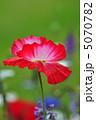 雛芥子 シャーレイポピー グビジンソウの写真 5070782