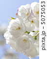 サクラ さくら 八重桜の写真 5075053