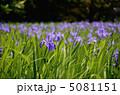 かきつばた カキツバタ 杜若の写真 5081151
