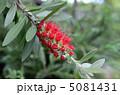 カリステモン 花槇 花の写真 5081431