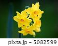 黄水仙 ほのかな香りです。 5082599
