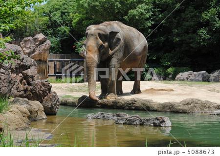 象(ゾウ)【天王寺動物園】「アジアの熱帯雨林ゾーン」で撮影 5088673