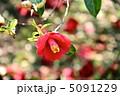 ツバキ 椿の花 つばきの花の写真 5091229