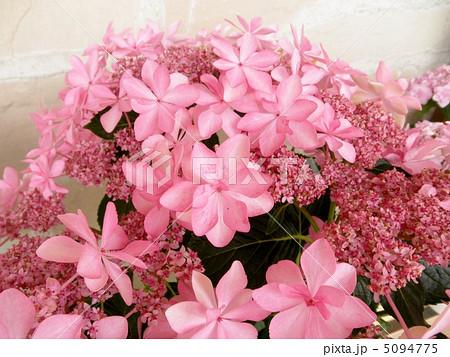 紫陽花(アジサイ):ダンスパーティ 花言葉:家族の結びつき Hydrangea 5094775